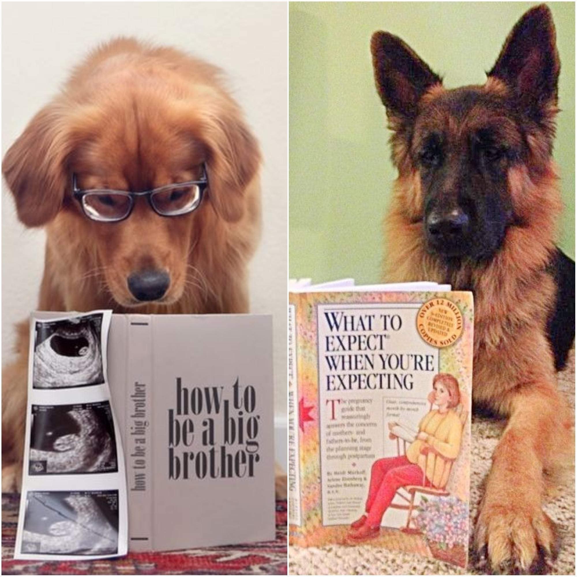 anunciar a gravidez pets